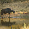 Buffalo reflections - Balule by Tracey Jennings