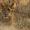 Lion cub - Balule by Tracey Jennings