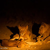 Lion family sleeping on the road - Balule by Tracey Jennings