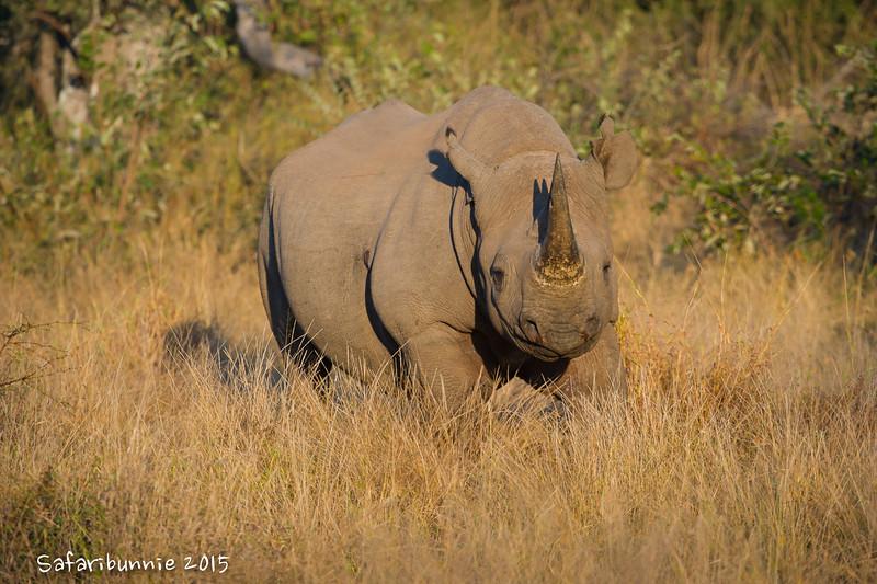 Black rhino - Balule by Tracey Jennings