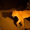 Lion crossing - Balule by Tracey Jennings