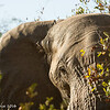 Elephant - Balule by Tracey Jennings