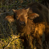 Buffalo calf with 'devil horns' - Balule by Tracey Jennings