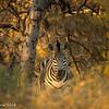 Zebra in golden light - Balule by Tracey Jennings