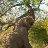 Balancing elephant - Balule by Tracey Jennings