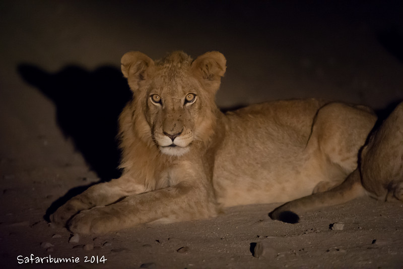Juvenile lion - Balule by Tracey Jennings