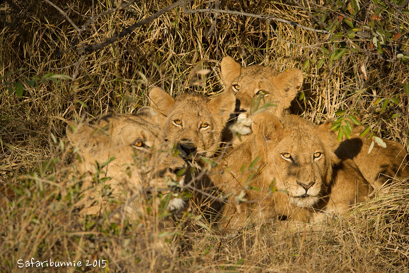 Lion creche -  Balule by Tracey Jennings