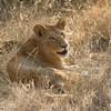 Backlit juvenile lion - Balule by Tracey Jennings
