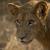 Lion cub - Balule by Tracey Jennings