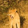 Tiny roar - Lion creche - Balule by Tracey Jennings