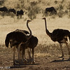 Ostrich .. Brothers and Sisters -Kgalagadi Transfrontier Park by Tracey Jennings