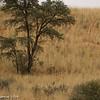 Cheetah - Stalking springbok (unsuccessfully)