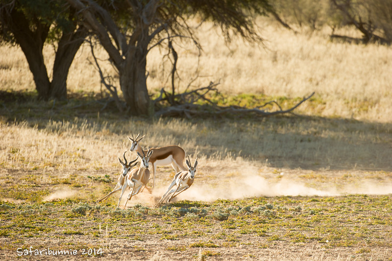 Rutting Season - Kgalagadi Transfrontier Park by Tracey Jennings