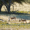Rutting Season - Kgalagadi Transfrontier Park by Tracey Jennings