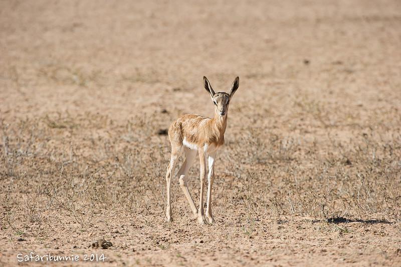 Springbok .. Still Damp - Kgalagadi Transfrontier Park by Tracey Jennings
