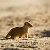 Backlit yellow mongoose
