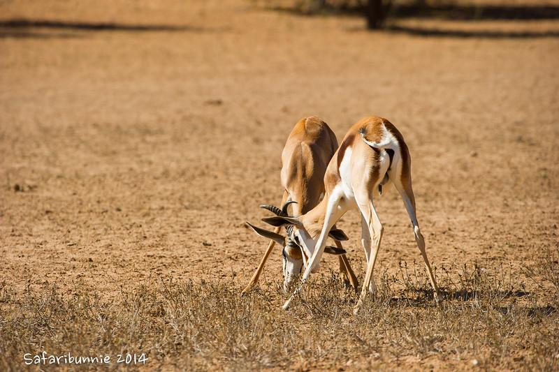 Springbok .. fighting