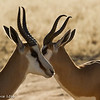 Springbok .. Twins - Kgalagadi Transfrontier Park by Tracey Jennings