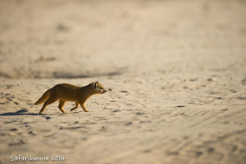 Baby Yellow Mongoose