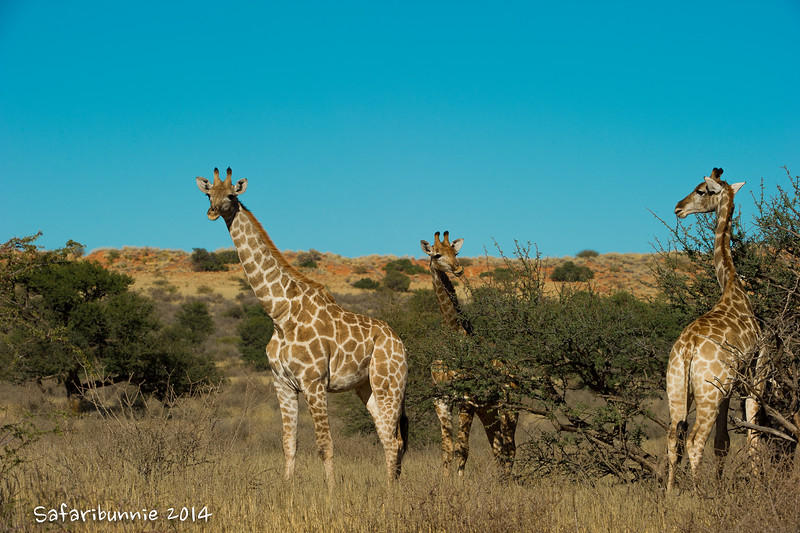 Giraffe were only reintroduced recently