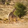 Giraffe .. Practice Fighting