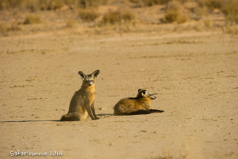 Bat Eared Fox .. one of the primary reasons I came to the park