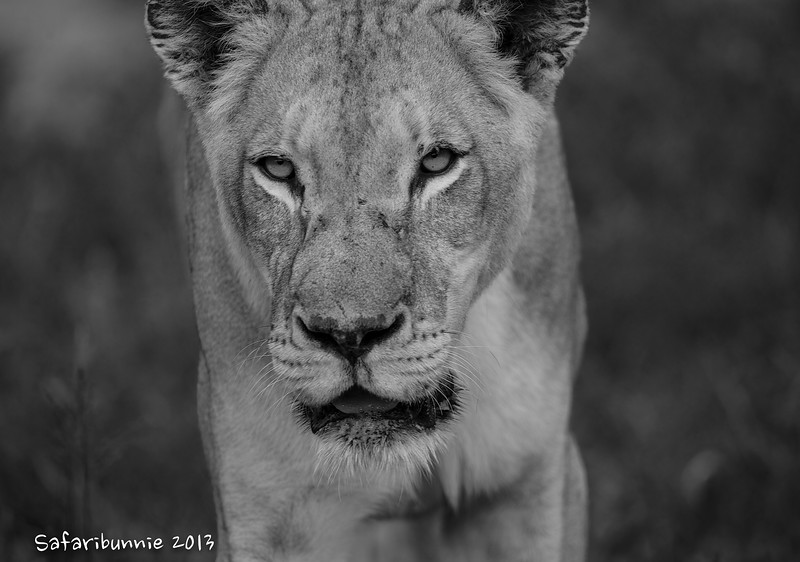 Lioness - Greater Kruger by Tracey Jennings