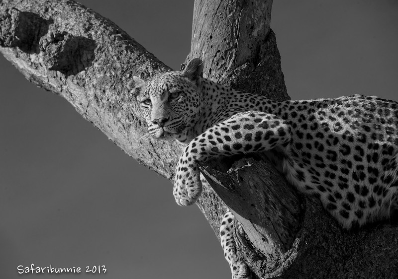 Leopard - Greater Kruger by Tracey Jennings