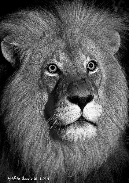 Portrait of a King - Greater Kruger by Tracey Jennings