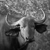 Buffalo - Balule by Tracey Jennings