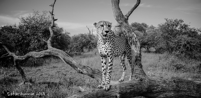 Cheetah - Greater Kruger by Tracey Jennings