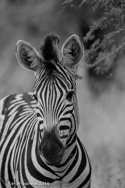 Baby Zebra - Madwike by Tracey Jennings