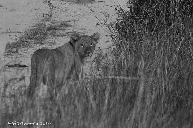 Lion Cub - Madwike by Tracey Jennings