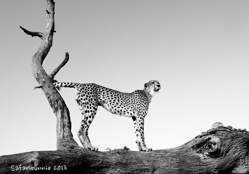 Cheetah viewpoint - Greater Kruger by Tracey Jennings