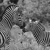 Zebra kiss - Greater Kruger by Tracey Jennings