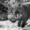 Warthog - Madwike by Tracey Jennings