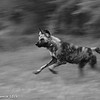 Wild Dog - Greater Kruger by Tracey Jennings