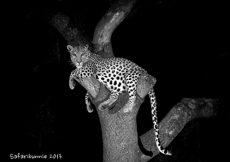 Leopard in a tree - Greater Kruger by Tracey Jennings