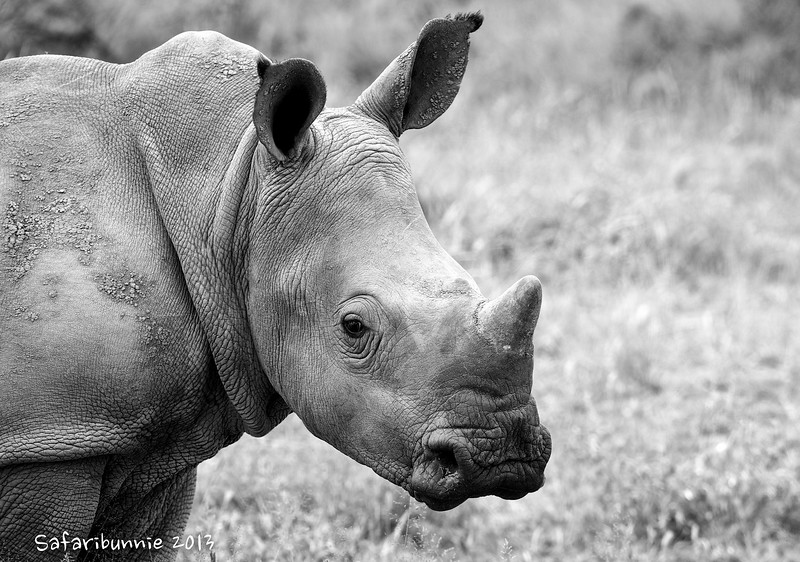 White rhino - Greater Kruger by Tracey Jennings
