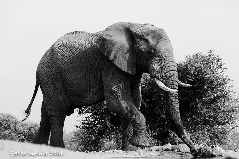 Elephant - Madwike by Tracey Jennings
