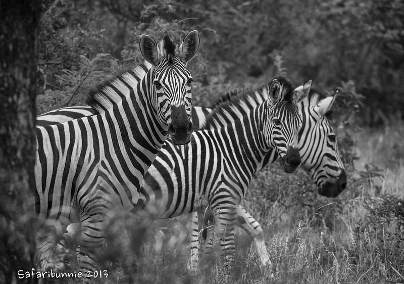 Zebra - Greater Kruger by Tracey Jennings