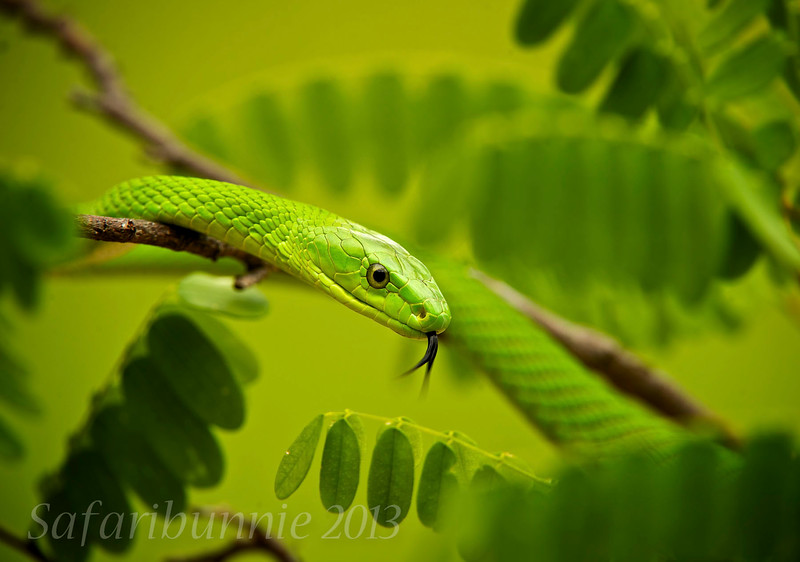 Green Mamba - South Africa by Tracey Jennings
