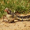 Puff Adder - South Africa by Tracey Jennings