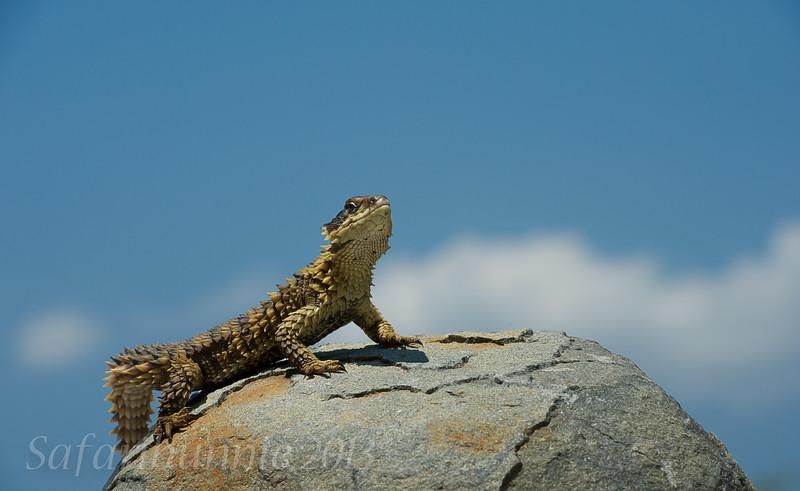 Sungazer - Khamai Reptile Centre by Tracey Jennings