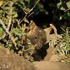 Brown hyena cub - Madwike by Tracey Jennings