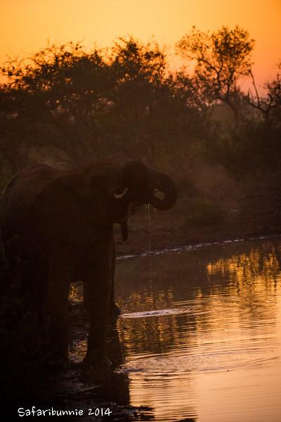 Elephant drinking at sunrise - Madwike by Tracey Jennings
