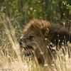 Lion - Madwike by Tracey Jennings