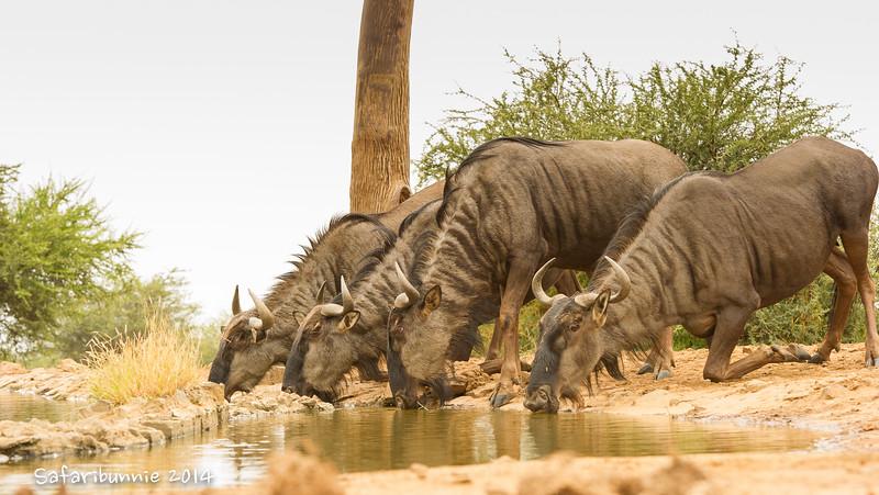 Wildebeest - Madwike by Tracey Jennings
