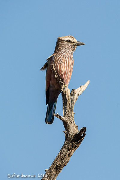Lilac breasted roller - Madwike by Tracey Jennings