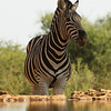 Zebra - Madwike by Tracey Jennings